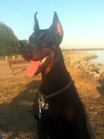 CKC Purebred European Import Female Doberman