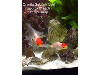 Oranda goldfish (pair)
