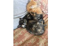2 tortoise shell cats for sale