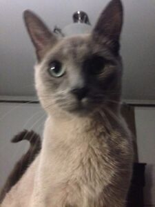 Missing  Siamese cat named ally