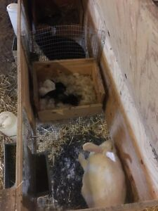 Meat rabbit breeding stock/package deal