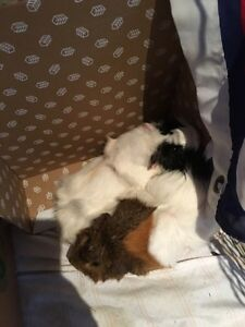 2 female guinea pigs looking for a home