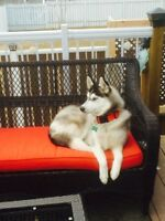 14 month old Purbread Female Husky very energenic.Not fixed.$600