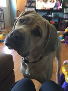 Selling our 15 month old Neapolitan mastiff