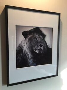 "Genuine wall art print of Laurent Baheux's ""Lion in the wind"""