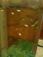 jolie  poisson guppy