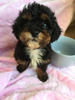 Gorgeous Tiny Toy Poodle Puppy 1 Female left!