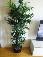 plante decorative banbou