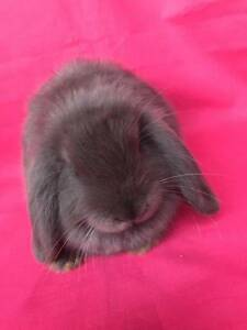 ♥♥♥ Purebred Mini Lop Baby Rabbits & Hutch Starter Packages  ♥♥♥ Londonderry Penrith Area Preview