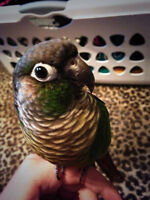 Green cheek conure looking for a new home.