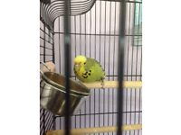 Budgie and cage for sale!