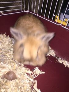 Lion head bunny with cage