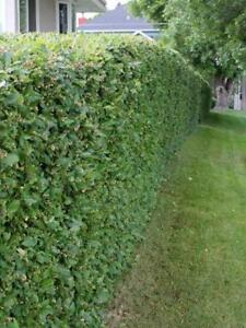 Hedge and Privacy Screen Seedlings