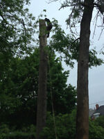 Tree cutting(Dangerous tree) and branch cleaning!