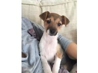 6 month old parsons Jack Russell