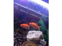2x gold fish for sale