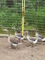Toulouse goslings - purebred