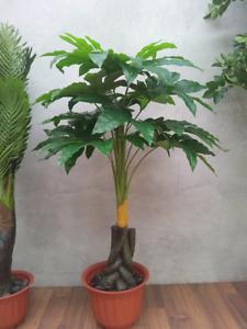Pachira Umbrella (aka Money Tree) Hoppers Crossing Wyndham Area Preview