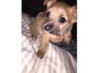 Lovely girl pup for sale