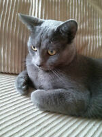 Nimbus is missing - Grey/Silver with green eyes male cat