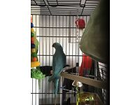 Blue Indian ringneck approx 6 month old