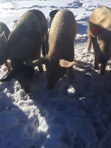 Pigs, Open Gilts and Butcher