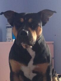 Rotty cross Staffy for sale