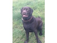 Lovely 11 month male chocolate lab