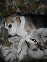 Beagle to rehome - Free