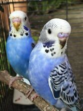 BABY BUDGIES just out of the box $25 each Baulkham Hills The Hills District Preview