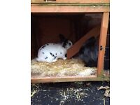 Rabbits, hutch and accessories