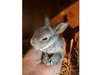 Mini Rex Rabbits available soon.