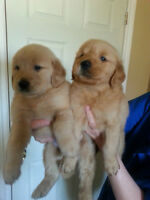 Golden retriever or goldendoodle for sale