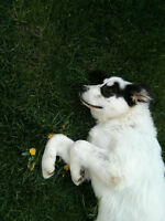 Beautiful Pyreneese-Border Collie in search of acreage