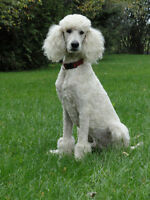 Caniche Royal blanc