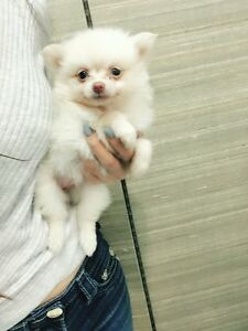 Teacup Creamy Pomeranian ready for new home!