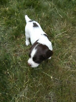 "English ""Born & Bred, Raw fed""  Springer spaniels (Puppies)"