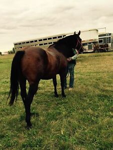 Bay gelding for sale