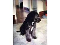 Bedlington x Bedlington whippet puppy