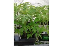 Tomato plants, 3 varieties (50p each)