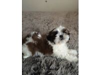 4 beautiful baby girls shih tzu puppy's for sale