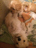 Coton de tulear + toy poodle mixed puppies to good homes