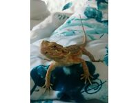 10 months old bearded dragon