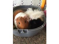 2 female Guinea pigs , cage and carrier