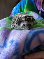 Available Baby Hedgehogs--