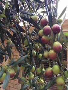 Organic Home Grown Olives Rockingham Rockingham Area Preview
