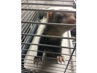 Male ferret for sale with cage
