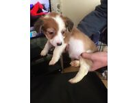 Jack Russell cross pups for sale
