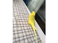 Budgie for sale 20