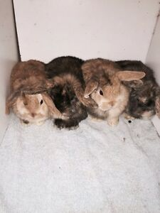 Holland Lops Available.